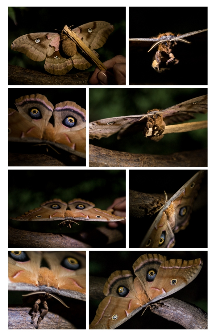 Owl Moth Collage