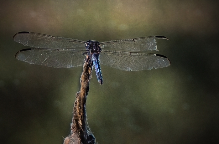 2015 dragonflies-1