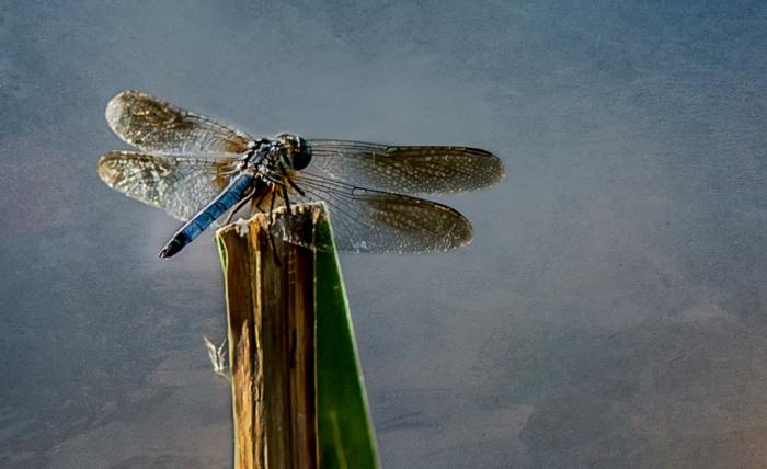 2015 dragonflies-2-2