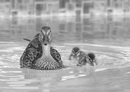2017 ducklings-1