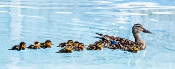 2017 ducklings-10