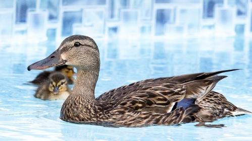 2017 ducklings-6