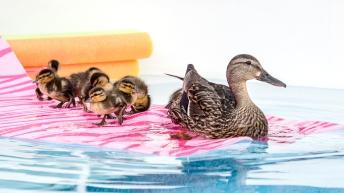 2017 ducklings-7