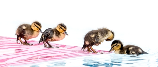 2017 ducklings-8